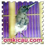 feat burung mabung