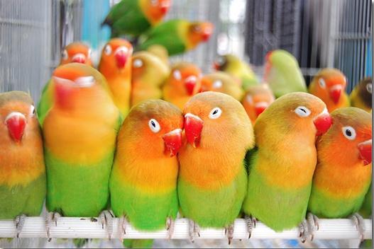 Populasi burung dalam kandang yang terlalu padat bisa memicu konflik antar mereka