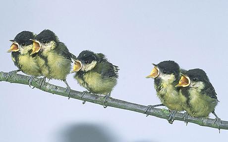 Upaya penangkaran yang berhasil bisa mempopulerkan kembali burung glatik wingko