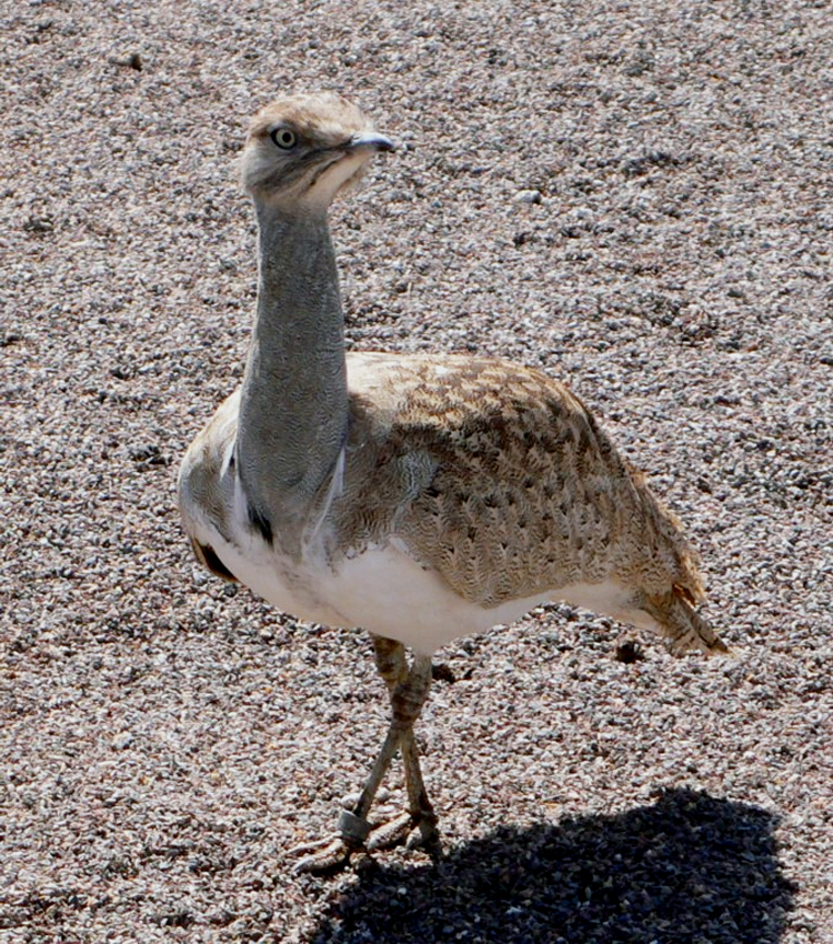 Burung houbara bustard