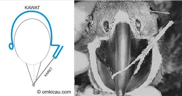 Bentuk paruh yang sedang dicoba dikembalikan posisinya menggunakan karet dan kawat