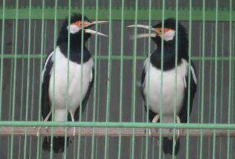 Jalak suren yang banyak dicari adalah burung yang berkicau dengan suara ngeroll