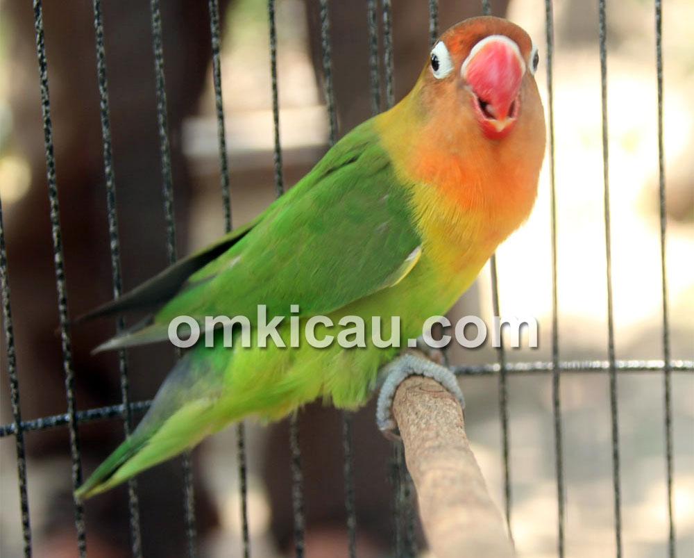 Lovebird Kayla Jr