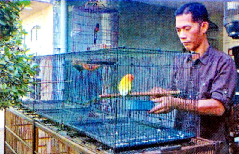 Lovebird Dewa Erlang