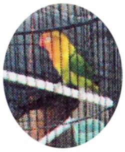 Lovebird Karti