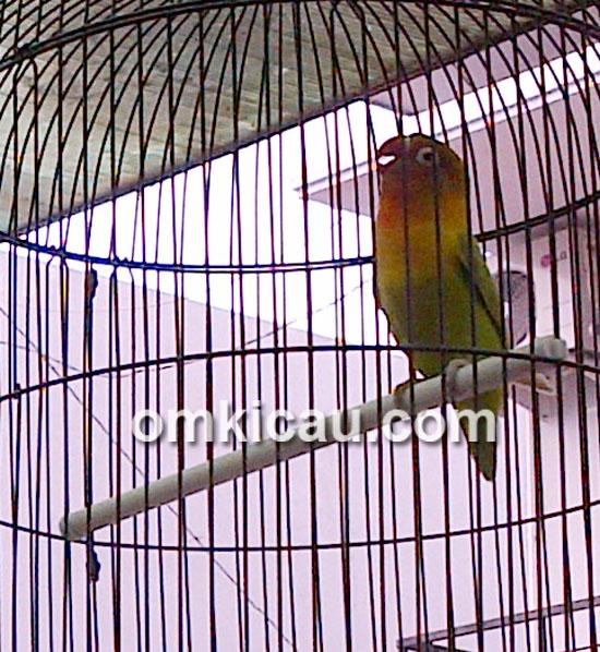 Lovebird Kusumo - Sigit WMP