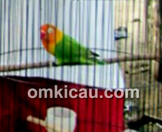 Lovebird Mawar