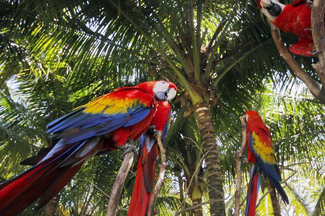 Macaw jenis scarlet