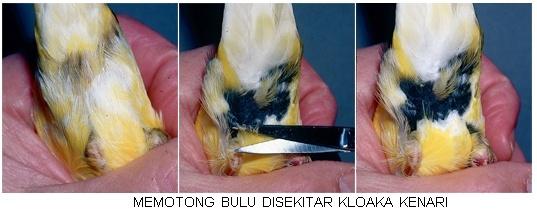 memotong bulu sekitar vent