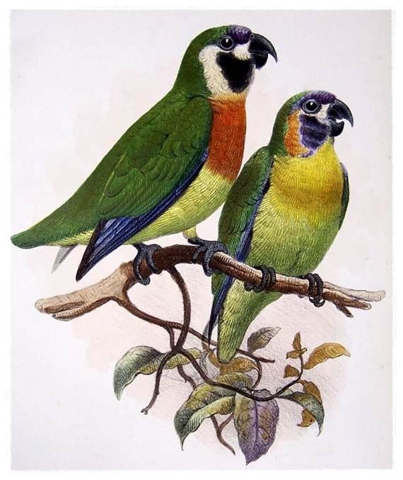 Nuri ara dada jingga jantan ( kiri ) dan betina