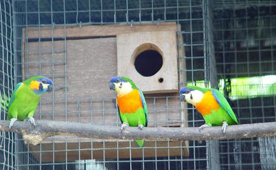 Burung nuri ara dada jingga dalam kandang penangkaran