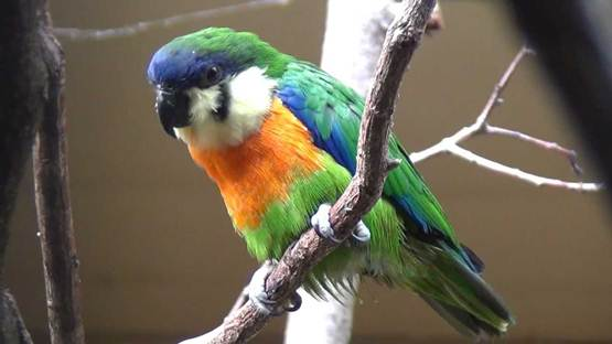 Nuri ara dada jingga atau orange breasted fig parrot dari Kep Aru dan Papua