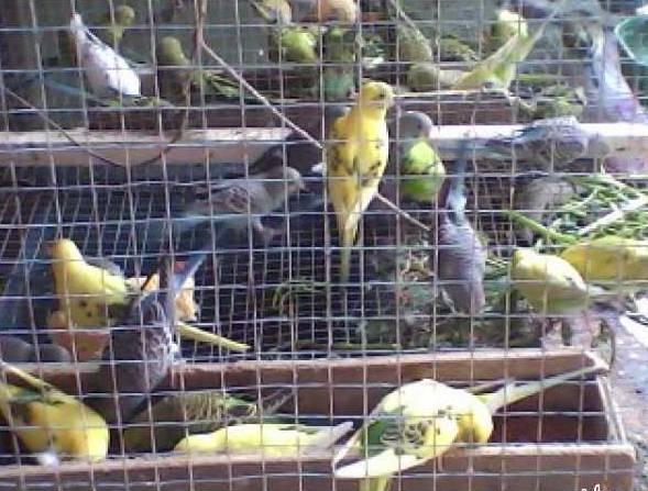 Parkit dalam kandang ombyokan ( foto: tokobagus.com )
