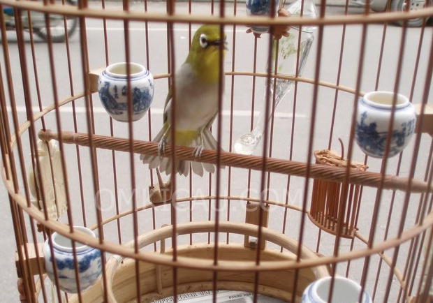 Audio burung pleci