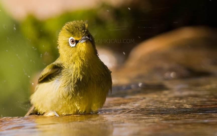 Pleci termasuk burung yang doyan mandi apalagi jika air yang dipakai adalah air dingin