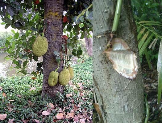 Getah pohon nangka