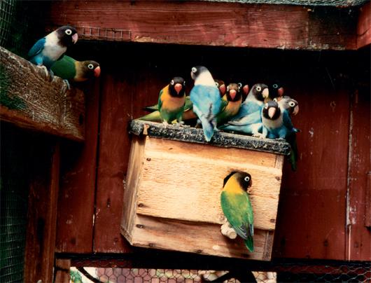 Banyak hal penting yang kadang diabaikan dalam penangkaran dan perawatan lovebird