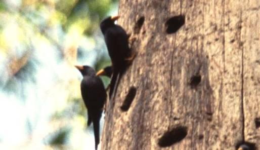 Lubang di pohon lapuk yang menjadi sarang jalak rio