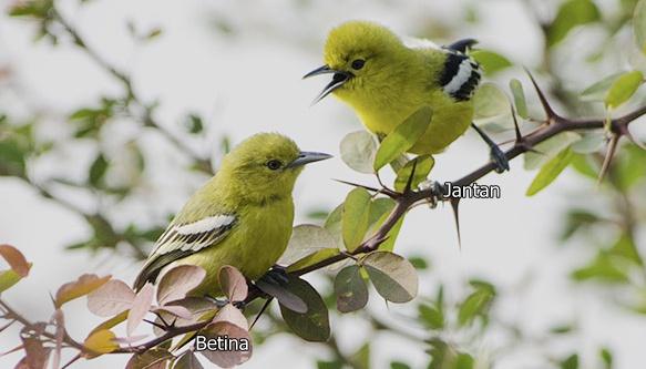 Sepasang burung cipoh kacat, sebelah kiri adalah burung betina dan kanan burung jantan yang bisa terlihat dari warna bulu kuning dan hitamnya yang tegas