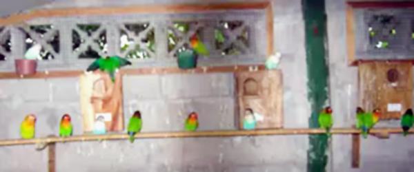 Breeding lovebird Tobil Proliman