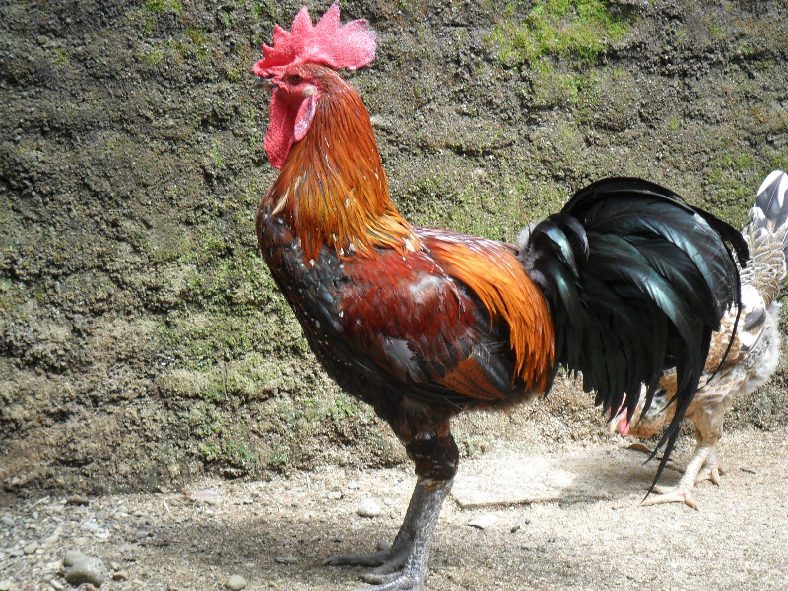 Ayam pelung kini semakin banyak dipelihara di berbagai daerah di Indonesia