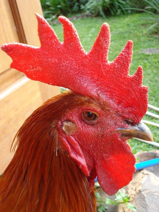 Ayam pelung jantan