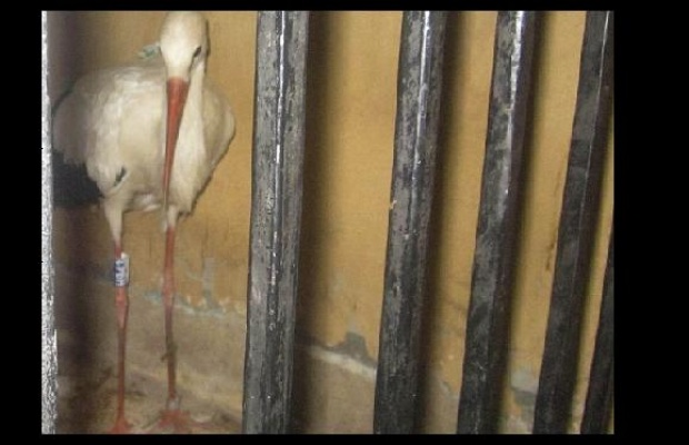 Burung bangau yang ditahan karena dianggap mata-mata asing