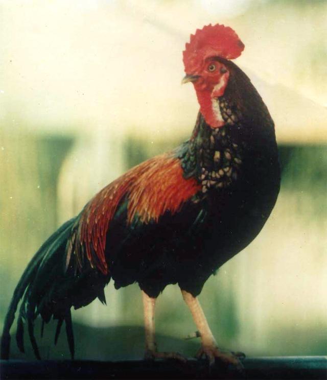 Ayam bekisar Arjuna