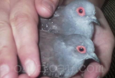 Bagian kepala dari burung jantan ( Atas) terlihat lebih terang dari burung betina dibawahnya.