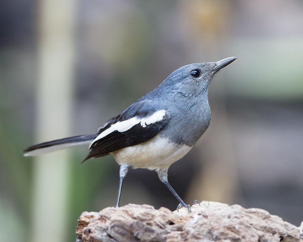 Burung betina terkadang diperlukan untuk memancing burung jantan rajin bunyi