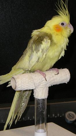 Burung yang tidak bisa menggenggam tenggeran dengan sempurna dan bulu yang berkembang merupakan gejala burung akan mengalami kelumpuhan (foto: avianweb.com)