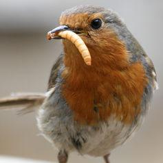 burung makan ulat