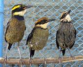 Burung pancawarna banyak dibeli oleh kicaumania pemula karena penasaran dengan suaranya
