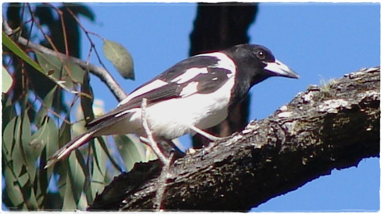 Butcherbird burung yang bisa ditemukan di Australia dan juga di Indonesia bagian timur