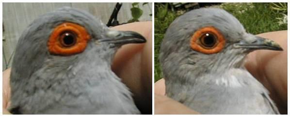 Cere mata pada burung jantan (kiri) lebih besar dan tebal dbanding yang terdapat pada burung betina