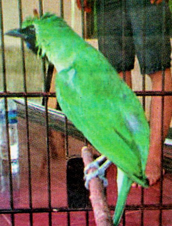 Cucak hijau jawara