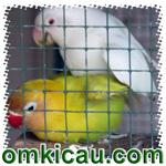 feat breeding lovebird