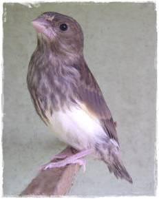 Anakan greenfinch hasil silangan
