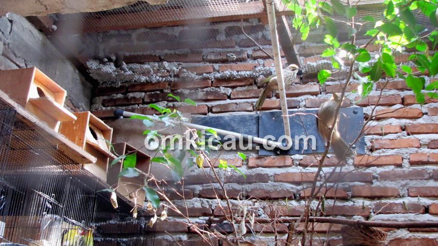 Tumpangsari lovebird dan cucakrawa