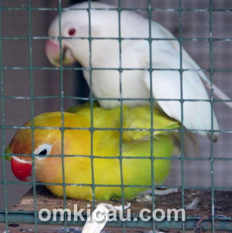 Penangkar lovebird - JP BF Depok