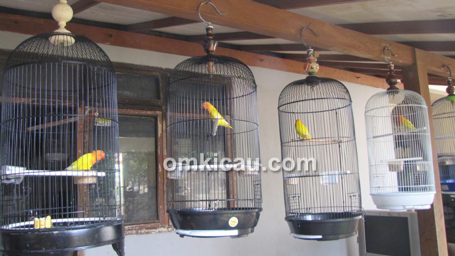 Penangkar lovebird - JP Bird Farm Depok