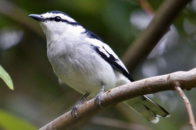 Burung kapasan kemiri