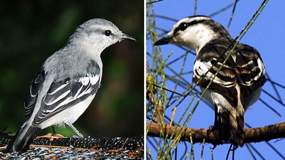 Sexing burung kapasan kemiri ras nigra