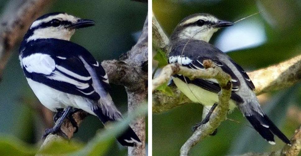 Sexing burung kapasan kemiri ras striga
