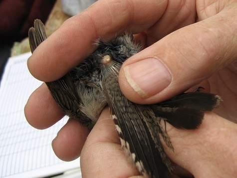 Kelenjar minyak yang terdapat dalam burung