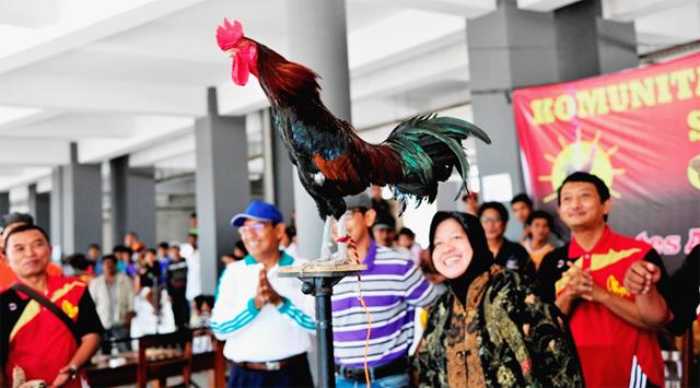 Kontes Ayam Ketawa - Undip Semarang