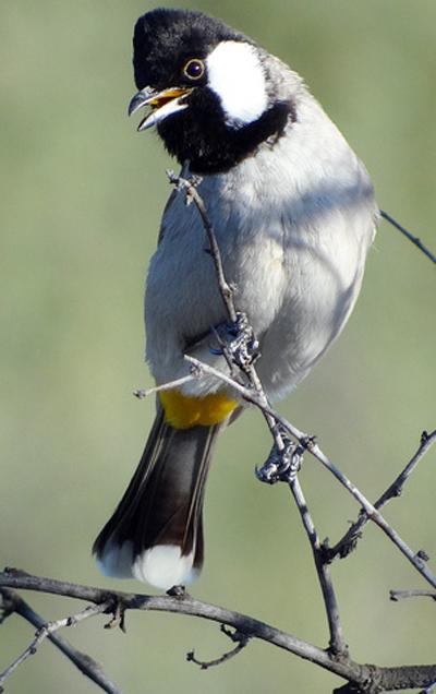 Burung kutilang irak
