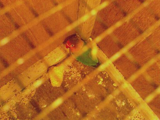 Lovebird lumpuh miliki om Tony Alamsyah yang berhasil sembuh setelah menggunakan BirdPro