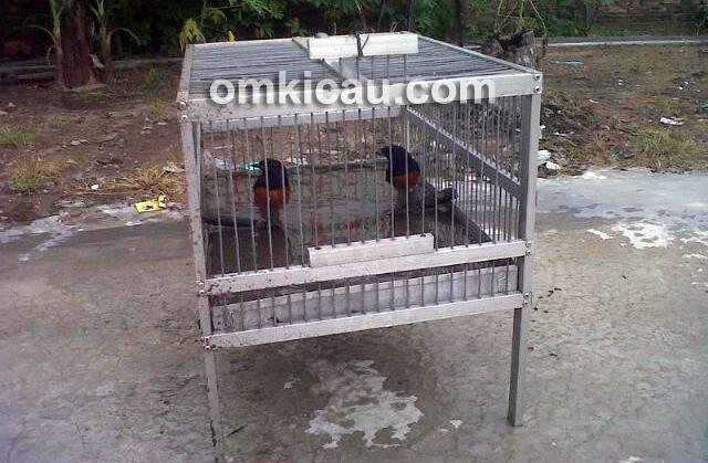 Agar tidak menyulitkan sebaiknya tanya kebiasaan mandi burung sewaktu membeli burung kicauan