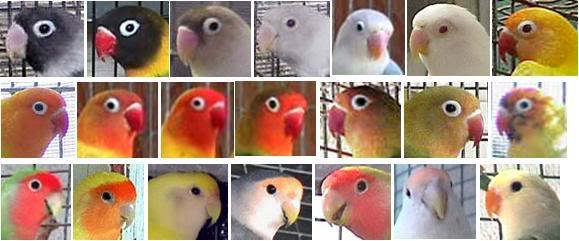 Ragam lovebird dengan topeng yang warna warni